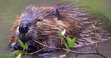 Sustainability: Beavers