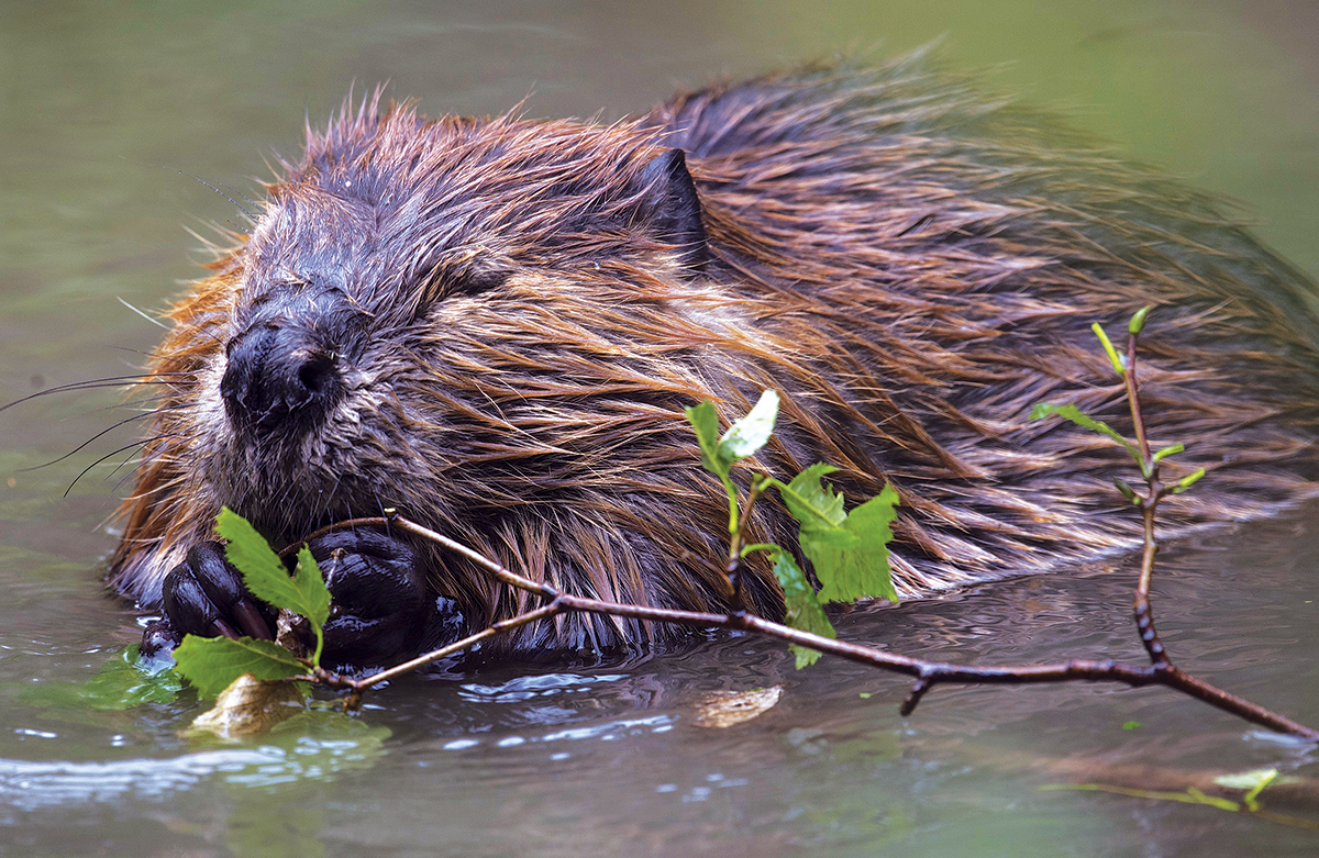 Sustainability: Beavers