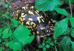 Compleat Naturalist: Box Turtles