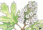 In Bloom: Hydrangea